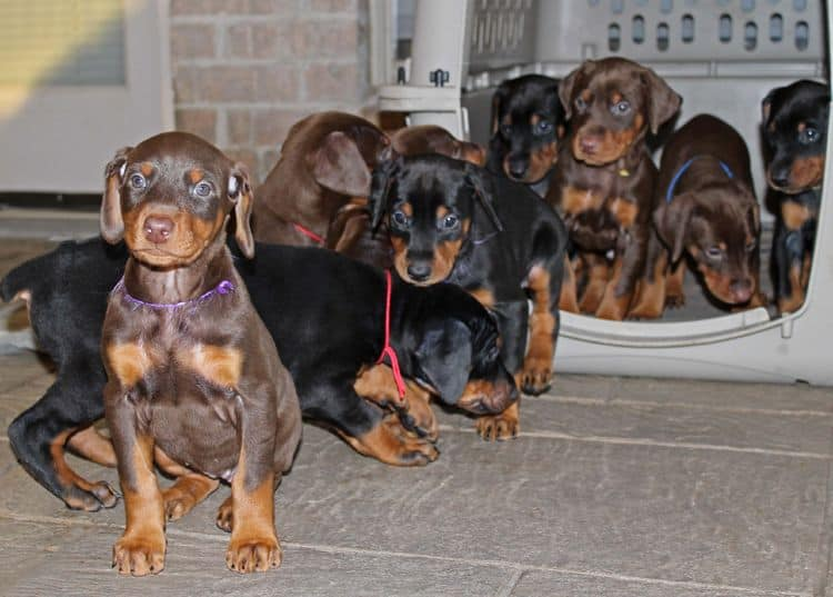 red and rust female doberman puppy and littermates