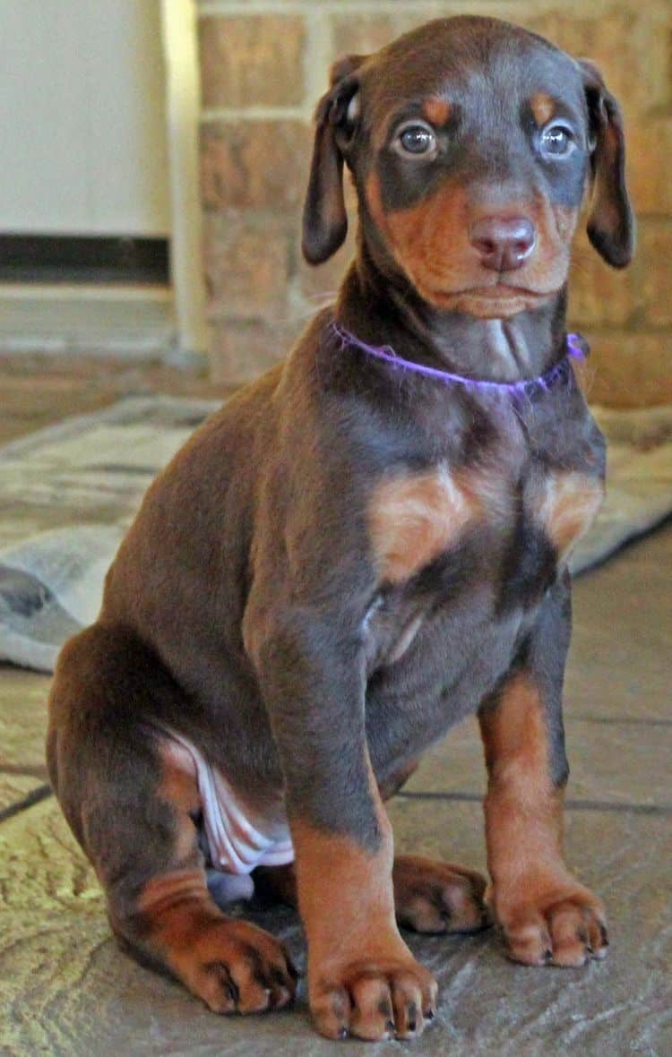 red and rust female doberman puppy