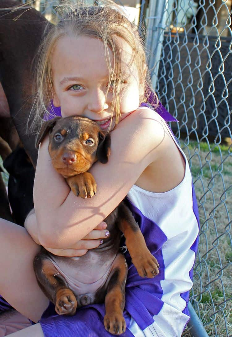 5 week old red and rust female doberman pup; champion sired