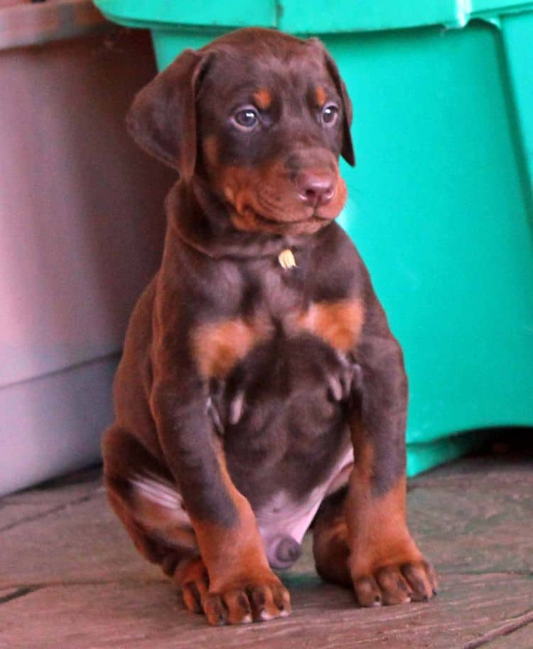 5 week old red and rust male doberman pup; champion sired
