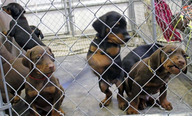 6 week old black and rust female doberman pups; red and rust doberman pups; champion sired