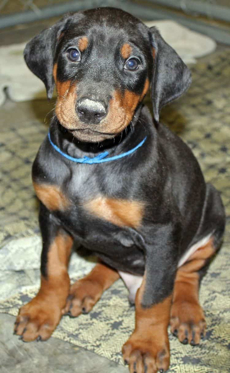 6 week old black and rust male doberman pup; champion sired