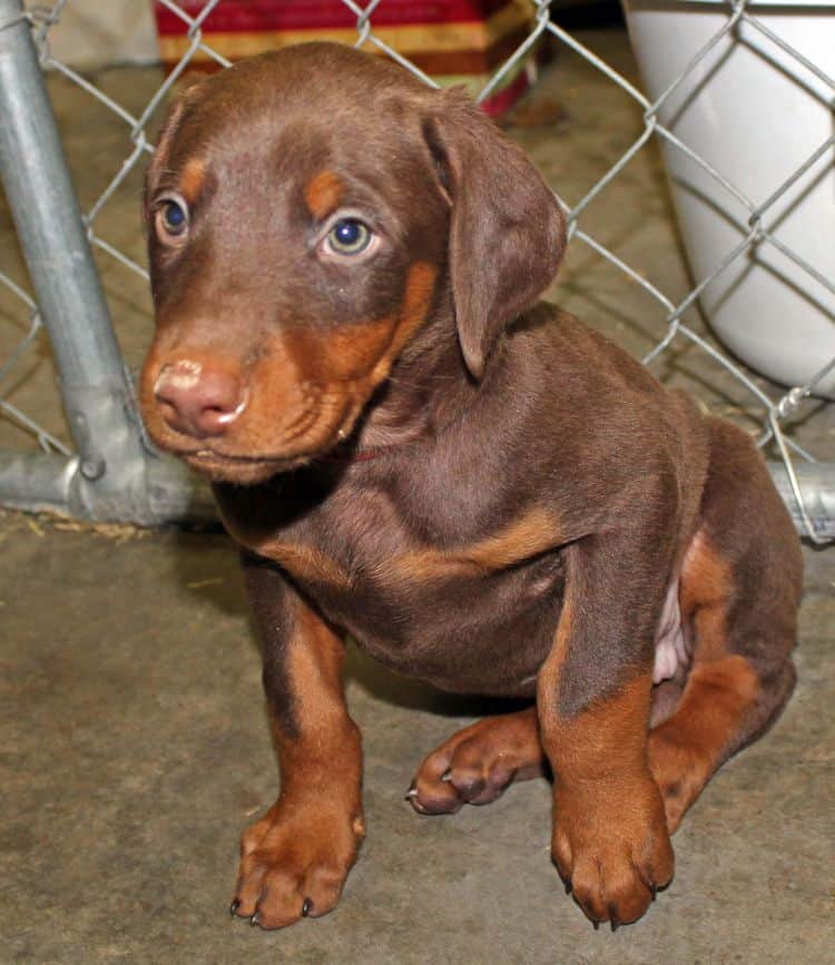 6 week old red and rust male doberman pup; champion sired