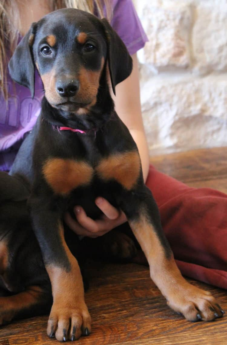 7 week old black and rust female doberman pup; champion sired