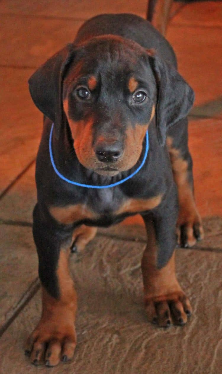 7 week old black and rust male doberman pup; champion sired