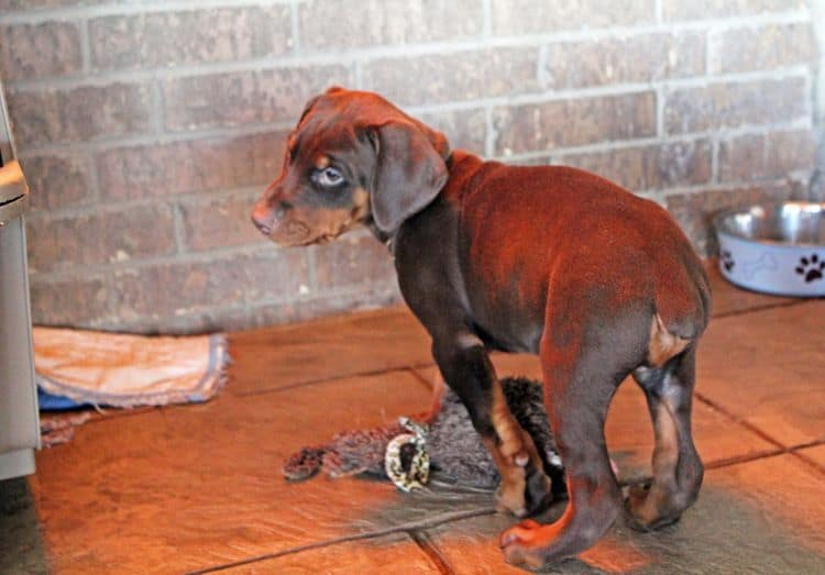 7 week old red and rust male doberman pup; champion sired