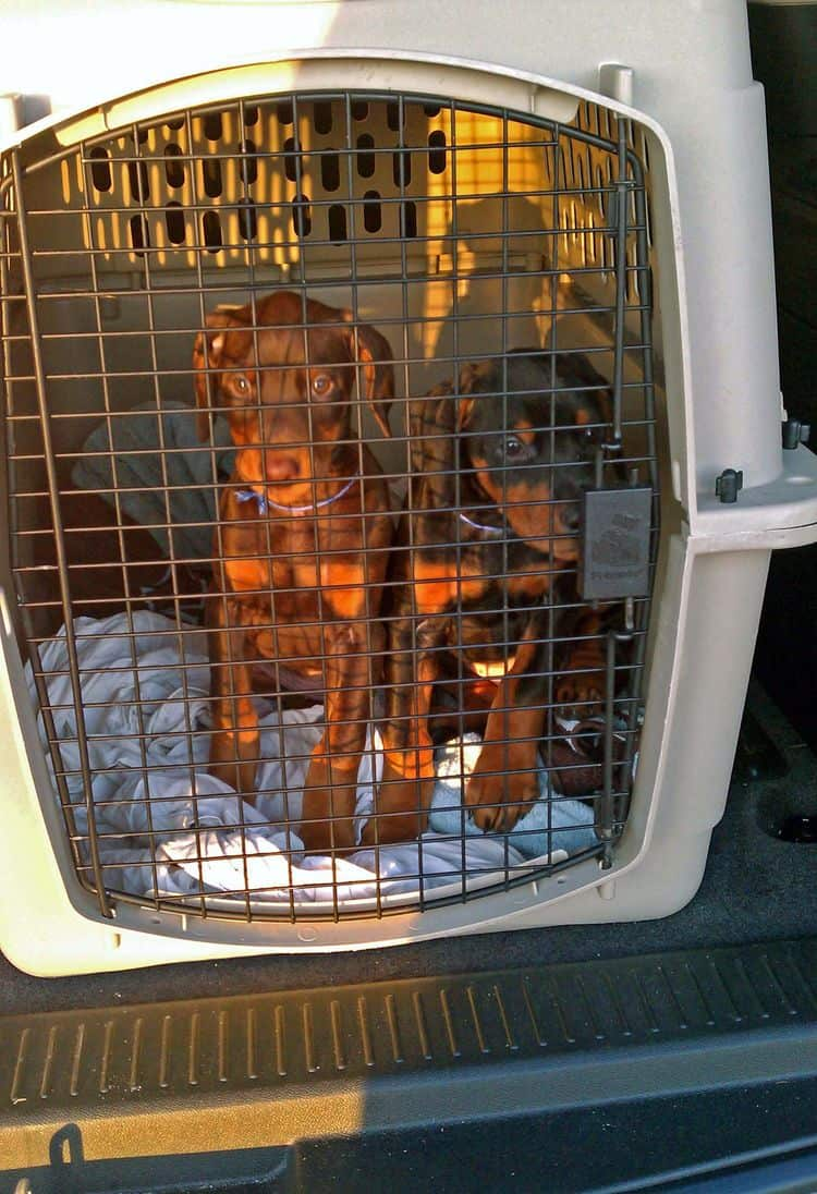 dobie pups crated for ride to veterinarian