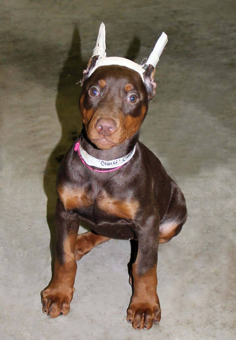 9 week old red and rust female doberman pup; champion sired