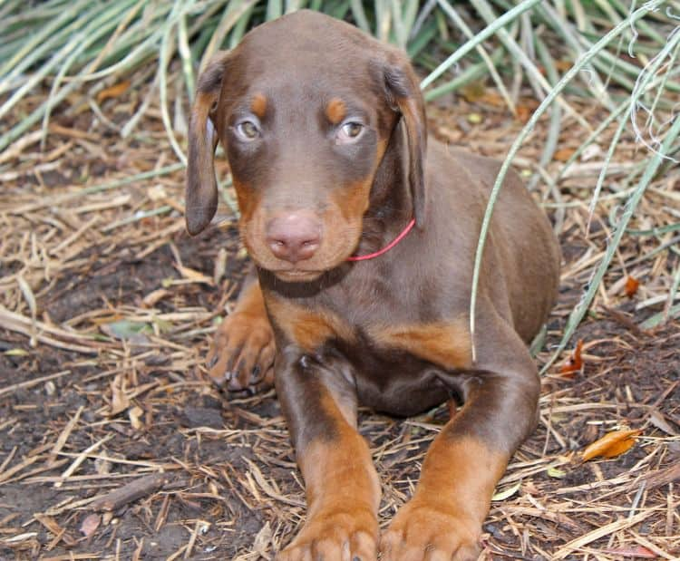 9 week old red and rust male doberman pup; champion sired