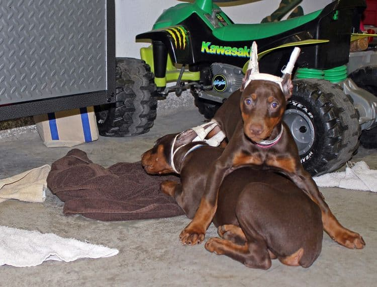 9 week old red and rust female and male doberman pups; champion sired