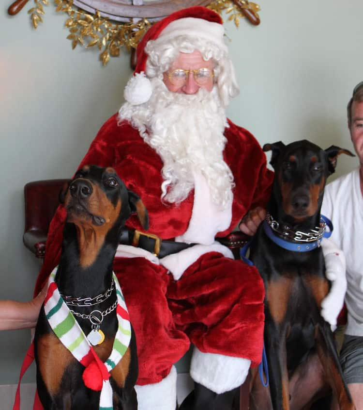 Christmas Santa photo with male Doberman