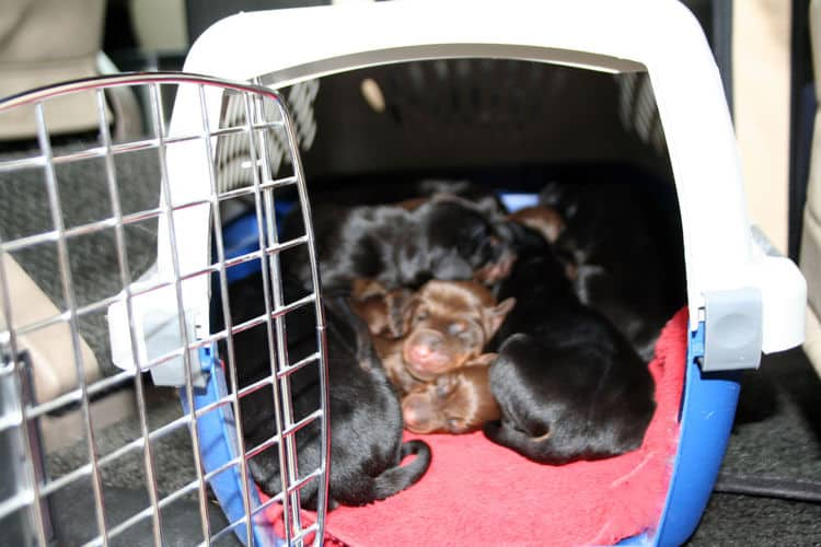 day old doberman puppies birth pictures to tail docks