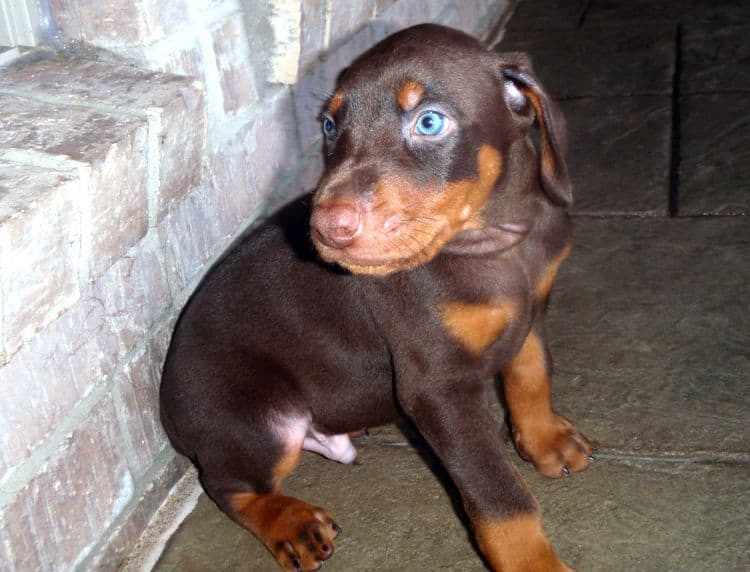 Red and rust male doberman puppy