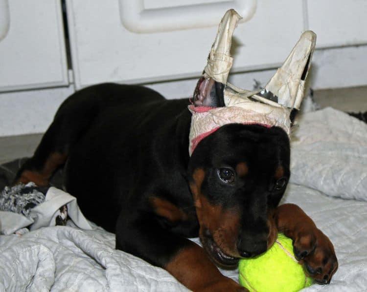 garretts dobermans puppy site