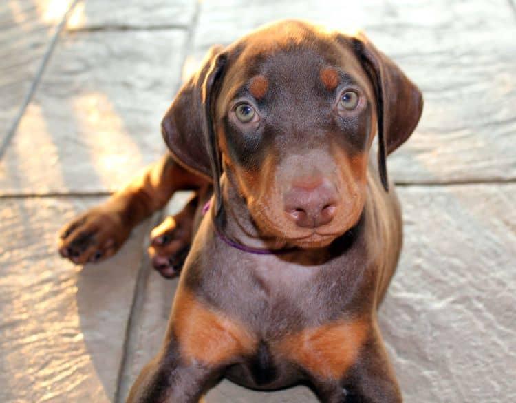 red doberman puppies