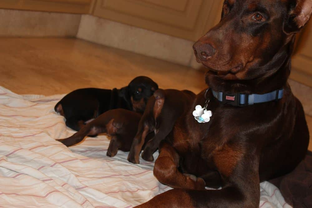 Red and rust female Doberman with her puppies