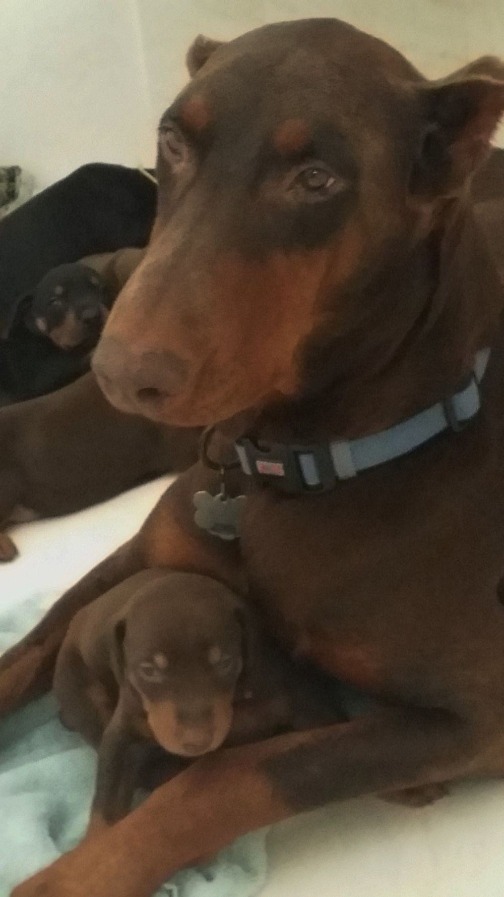 red rust female doberman with puppy