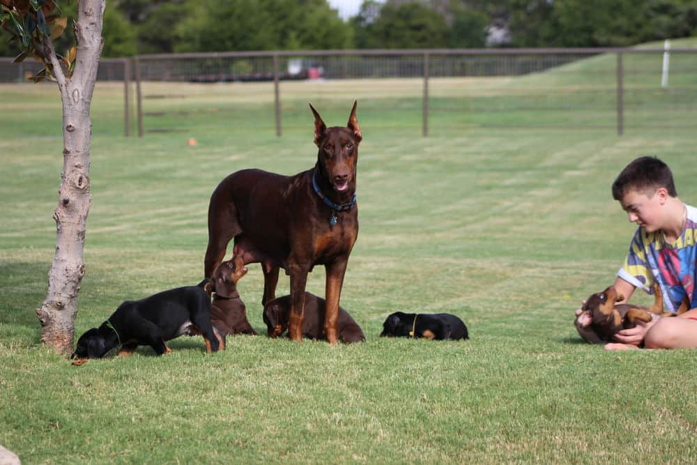 red rust female doberman with puppies
