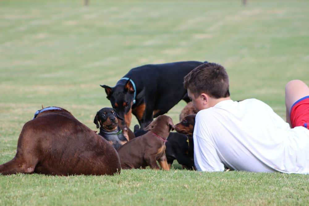 child playing outside with Dobermans and puppies