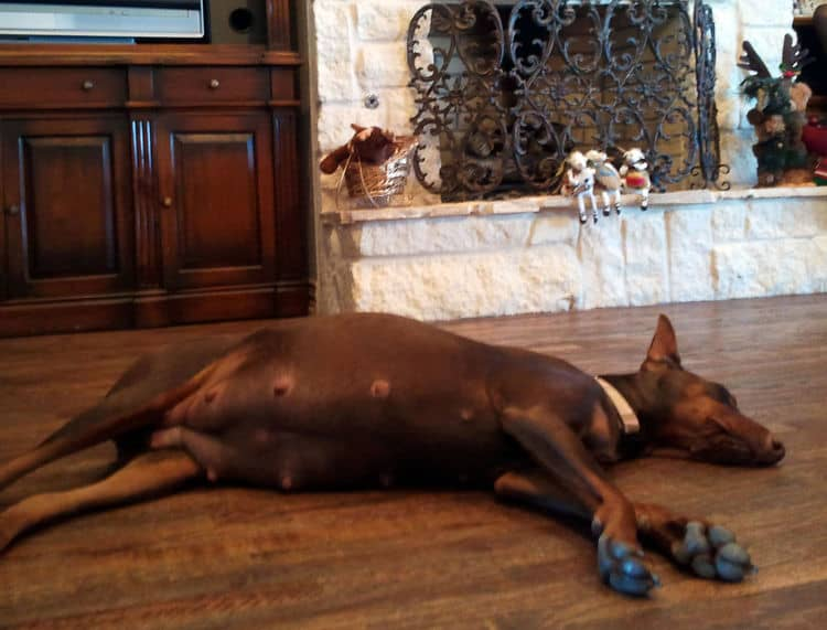 pregnant red and rust female dobermann