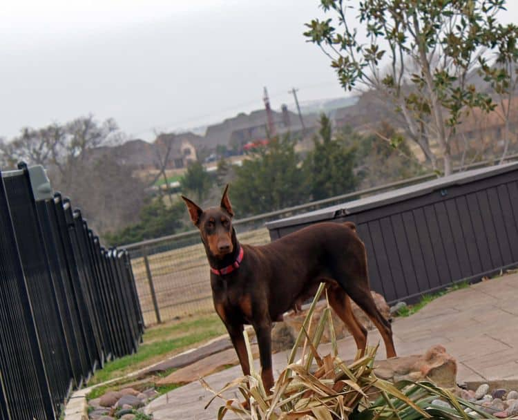 red and rust adult female doberman