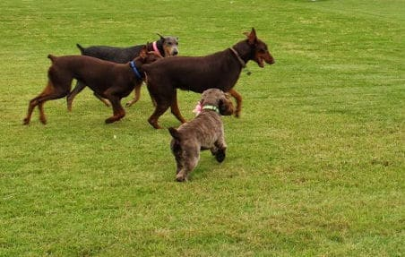 red and rust female doberman and her mother and blue and rust female doberman and cocker spaniel