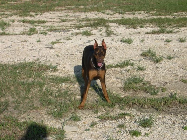 doberman at 1 year old