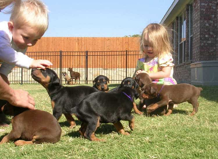 Garretts Dobermans Puppy Site