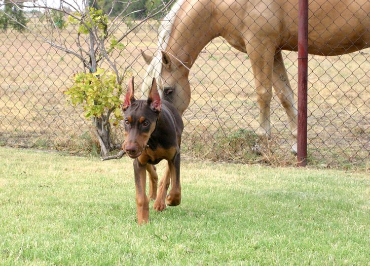 red female Doberman and horse