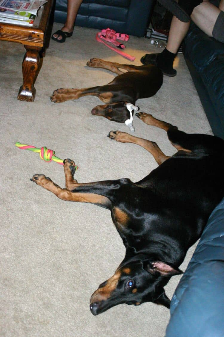 red female Doberman and black female adult doberman
