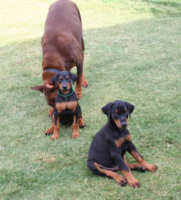 Doberman pups at play