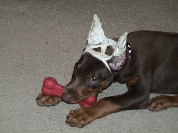Dobe pup cropped