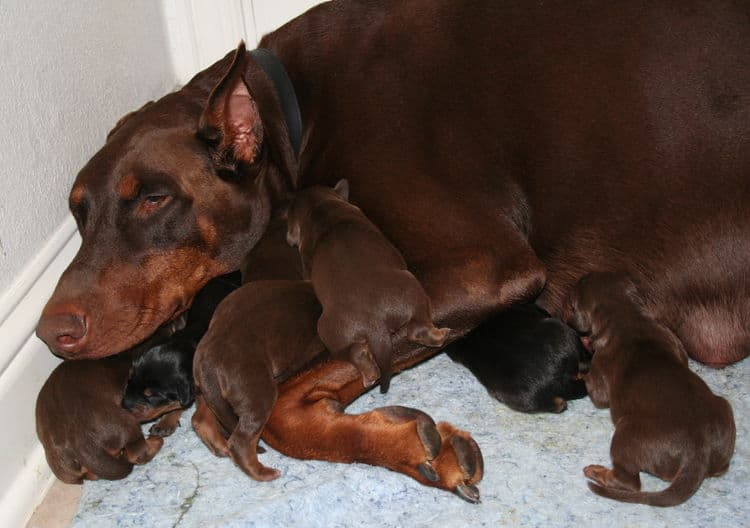 day old doberman puppies