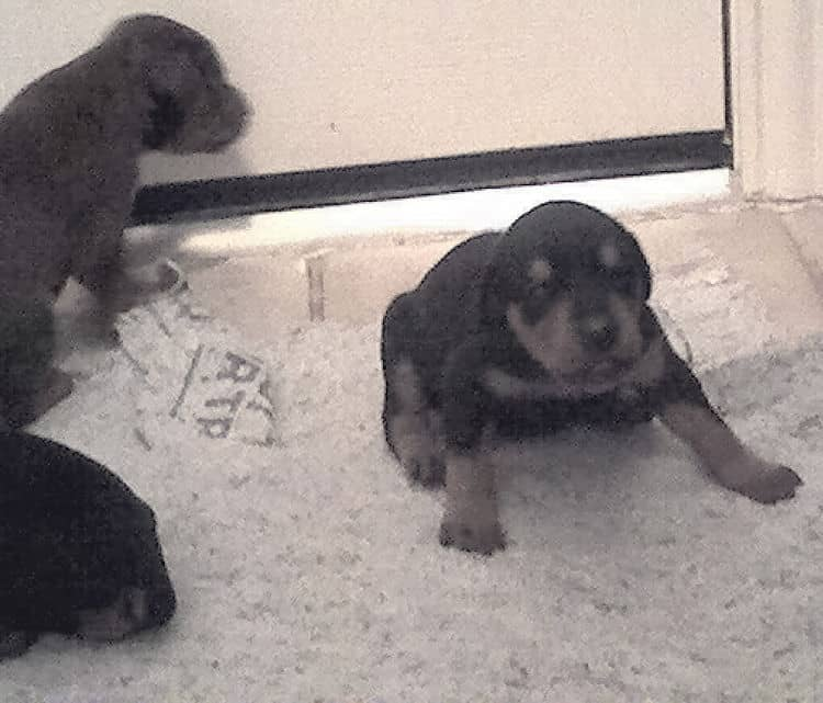 2 week old doberman puppies