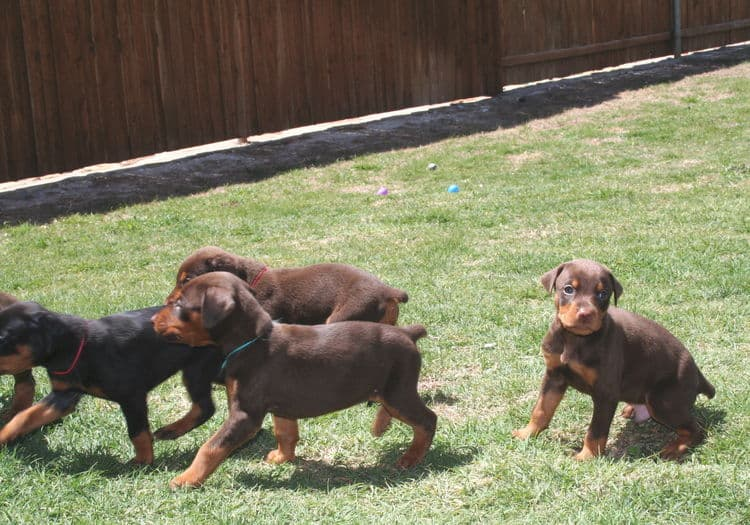 3 week old doberman puppies