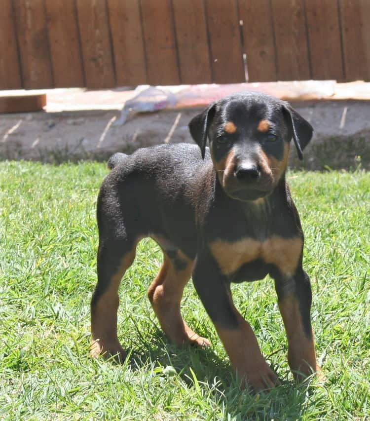 black male dobe pup