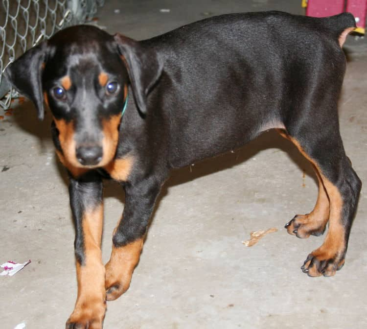 black female dobe pup