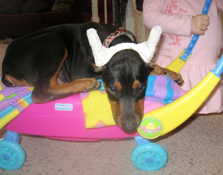 black male dobe pup home with children