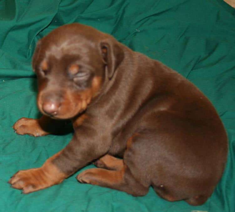 red and rust female dobermann puppy