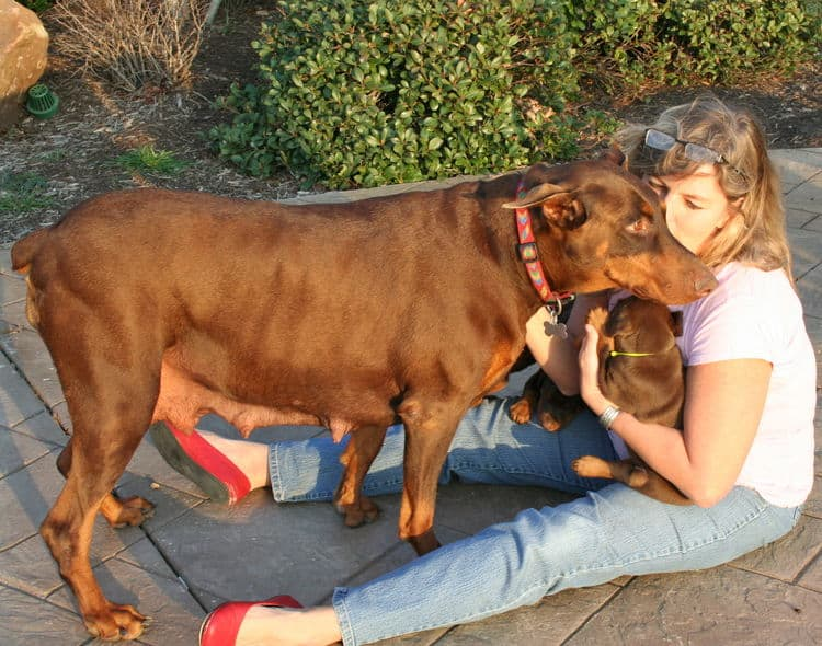red male dobe pup with new owners