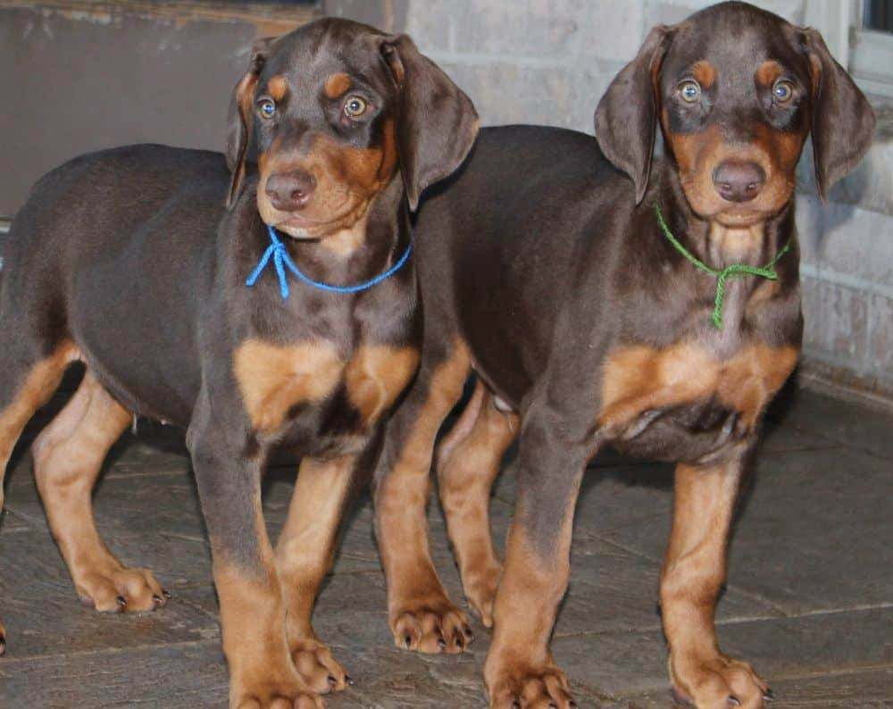 Doberman Pinscher  pups