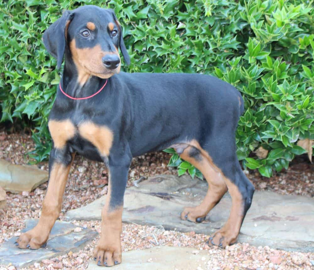 black and rust male Doberman Pinscher puppy