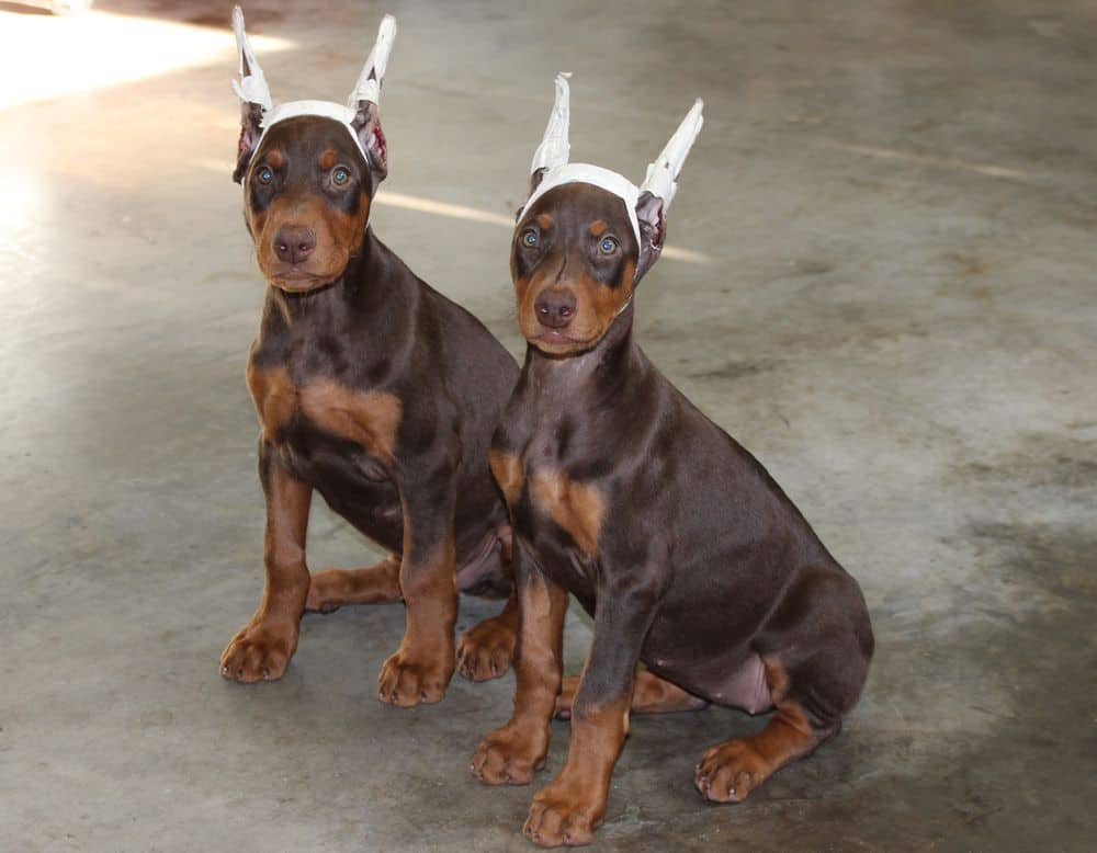 red and rust female and male Doberman Pinscher puppies