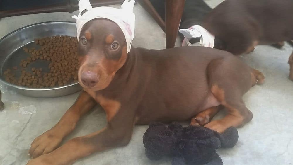red and rust male Doberman Pinscher puppy