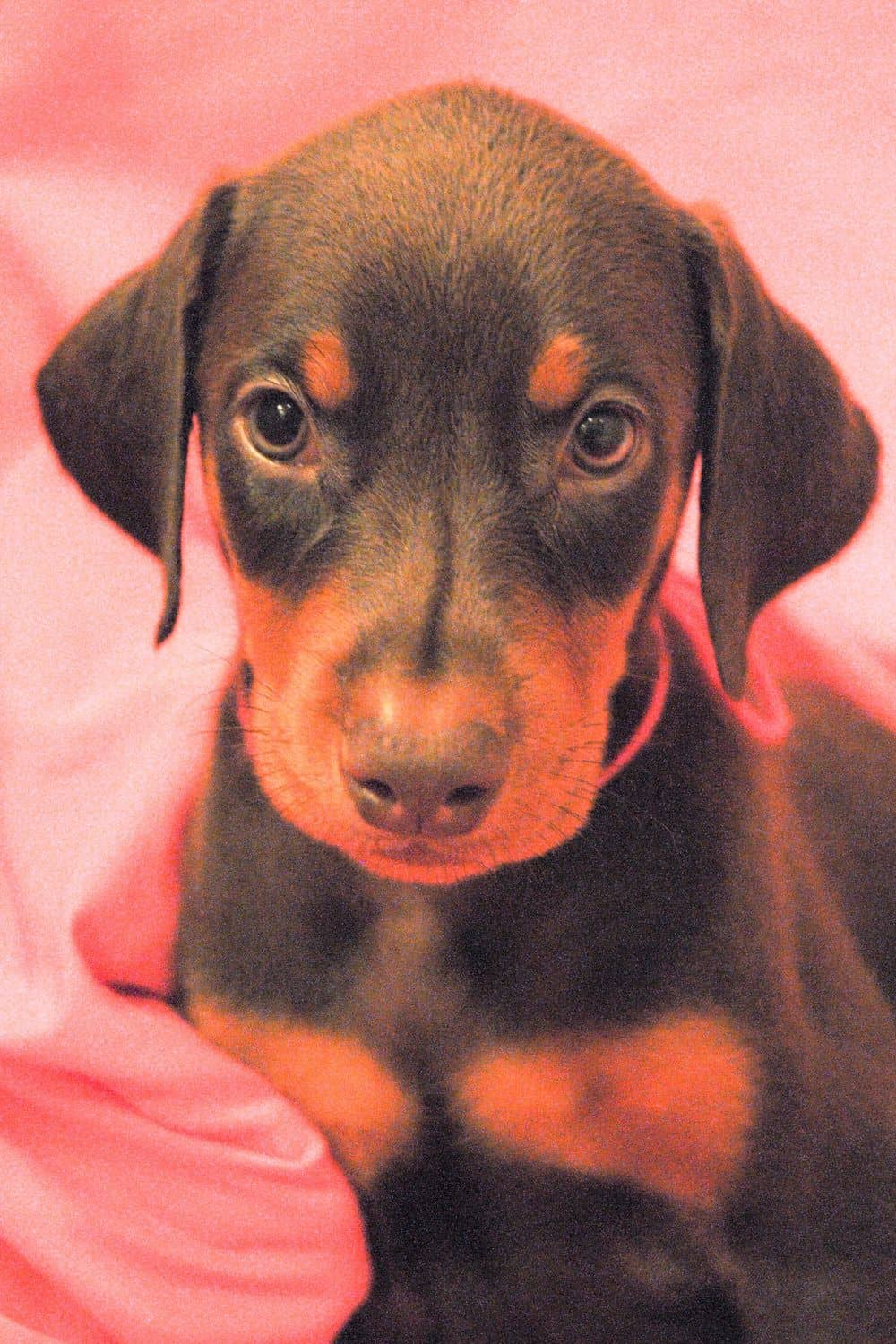 red and rust female Doberman Pinscher  puppy