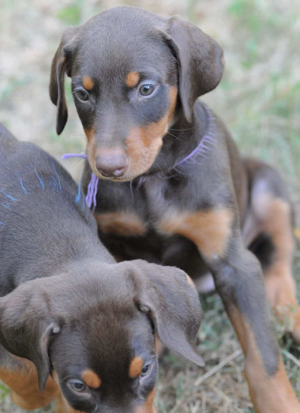 Doberman Pinscher  puppies