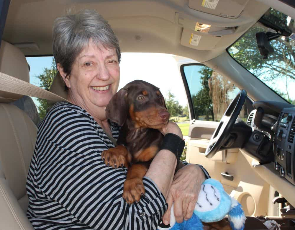 Doberman Pinscher  red and rust female pup with new owner